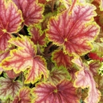 "heuchera Picasso [12""]<br>^^^ SOLD OUT ^^^"
