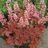 "heuchera Pink Pearls [18""]"
