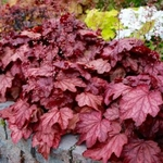 "heuchera Plum Power [14""] v"