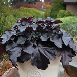 heuchera Primo Black Pearl 7/1/16<br>WHOLESALE LINER