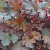 heuchera Prince of Orange