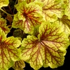 "heuchera Red Lightning [11""] v<BR>^^^ SOLD OUT ^^^"