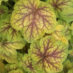 "heuchera Renoir [12""]<br>^^^ SOLD OUT ^^^"