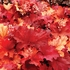 "heuchera Rio [9""] v<br>^^^ SOLD OUT ^^^"