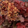 heuchera Root Beer<br>^^^SOLD OUT^^^
