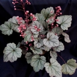 heuchera Silver Blush