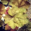 "heuchera Silver Heart [12""]"
