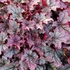 "heuchera Spellbound [9""] v<bR>^^^ SOLD OUT ^^^"
