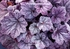 "heuchera Sugar Plum [12""] v"