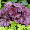 heuchera Sugar Plum<br>WHOLESALE LINER