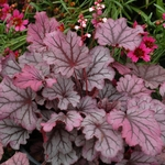 heuchera Sugarberry<br>WHOLESALE LINER