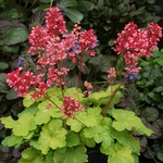 heuchera Sweet Tart<br>WHOLESALE LINER