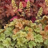 "heuchera Topaz Jazz [9""]<BR>^^^ SOLD OUT ^^^"