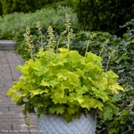 """heuchera Twist of Lime [10""""]<BR>^^^ SOLD OUT ^^^"""