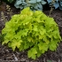 heuchera Twist of Lime<BR>^^^ SOLD OUT ^^^