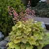 heuchera 'You're So Vein'
