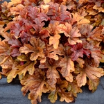 heucherella Buttered Rum<br>WHOLESALE LINER