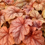 heucherella Copper Cascades<br>WHOLESALE LINER