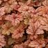 "heucherella Honey Rose [8""]"