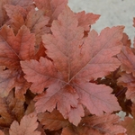 "heucherella Hopscotch [12""] v"
