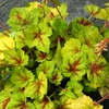 "heucherella Hot Spot [8""]<br>^^^ SOLD OUT ^^^"