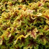 "heucherella Mojito [7""]<br>^^^SOLD OUT^^^"