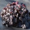 "heucherella Onyx [10""]<br>^^^ SOLD OUT ^^^"