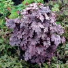 "heucherella Plum Cascade [9""]<BR>^^^ SOLD OUT ^^^"