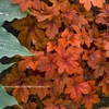 heucherella Pumpkin Spice [10] v<BR>^^^ SOLD OUT ^^^