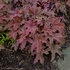 "heucherella Red Rover [8""] v<BR>^^^ imperfect ^^^"