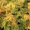 heucherella Solar Power<BR>WHOLESALE LINER