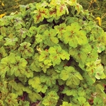heucherella Yellowstone Falls<br>WHOLESALE LINER