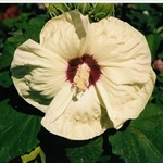"hibiscus New Old Yella [30""]<br>^^^ SOLD OUT ^^^"