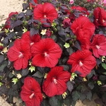 "hibiscus Holy Grail [54""]<BR>^^^ SOLD OUT ^^^"