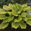 Hosta Age of Gold