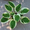 hosta Blazing Saddles<br>SMALL STARTER PLANT