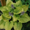 hosta Coast to Coast<br>^^^ SOLD OUT ^^^
