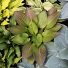 hosta First Blush<br>^^^ SOLD OUT ^^^