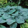 hosta Humpback Whale<br>SMALL STARTER PLANT<br>(ships early April)