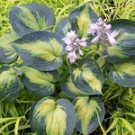 hosta Heat Wave<BR> ^^^ SOLD OUT ^^^
