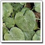 hosta Ovalwood<br>^^^ SOLD OUT ^^^