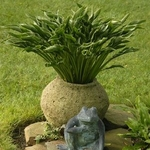 hosta Praying Hands<BR>SMALL STARTER PLANT