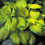 hosta Stained Glass<br>SMALL STARTER PLANT