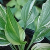 hosta Wedding Night