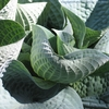 hosta Wishing Well<BR>{LINER}