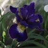 "iris Golden Edge [30""]"