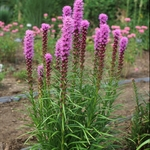 liatris Kobold<br>^^^ SOLD OUT ^^^