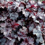 "heuchera Licorice [13""] v"