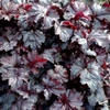 "heuchera Licorice [13""] v<br>Ships 5/1/18"