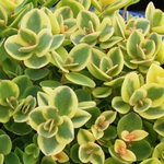 "sedum Lime Twister [4""]"